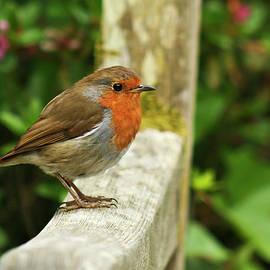 A Close Up of a European Robin by Derrick Neill