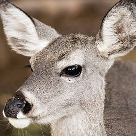A Close Up of a Whitetail Deer by Derrick Neill