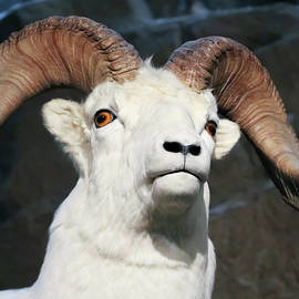 A Close Up Portrait of a Dall Sheep by Derrick Neill