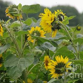 A Crop Of Sunflowers by Lesley Evered