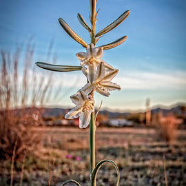 A Desert Easter Lily by Robert Bales