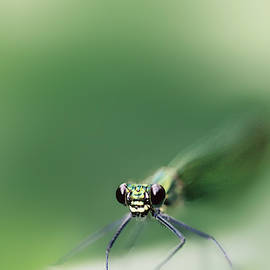 A Damsel Fly in Green by Lieve Snellings