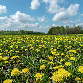 a field of yellow dandelions on a Sunny spring day by Igor Klyakhin