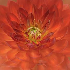 A Fire Red Dahlia Close Up  by Sylvia Goldkranz