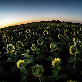 A fisheye view of big field of sun flowers in Illinois by Sven Brogren