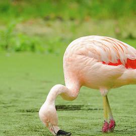 A flamingo eating out of water by Deepak Sundar