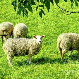 A flock of sheep in a field in Heywood, Grt Manchester, England, UK by Pics By Tony