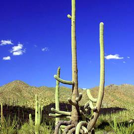 A Giant Saguaro by Douglas Taylor