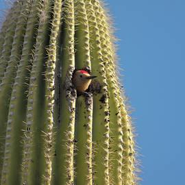A Gila Woodpecker in a Saguaro, Tucson, AZ, USA by Derrick Neill