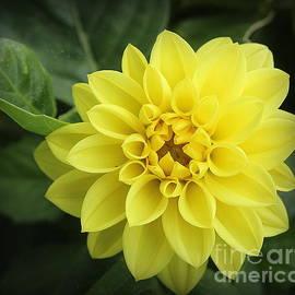 A Golden Beauty - Dahlia by Dora Sofia Caputo