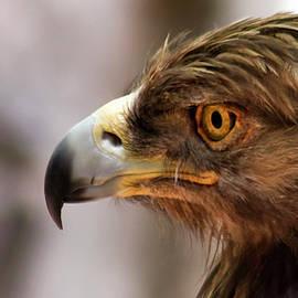 A Golden Eagle in Profile, Huachuca Mountains, AZ, USA by Derrick Neill