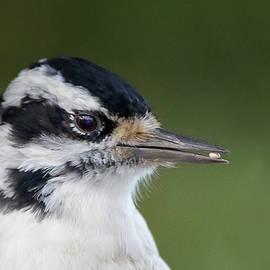 A Hairy Encounter - Hairy Woodpecker - Dryobates villosus by Spencer Bush
