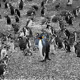 A King penguin in a colony