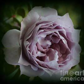 A Lavender Rose in Late Summer by Dora Sofia Caputo