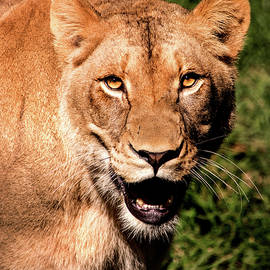 A Lions Look by Don Johnson