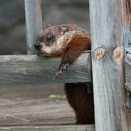 A groundhog hang-out by Lieve Snellings