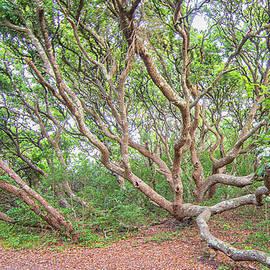 A Live Oak of Fort Macon State Park - Atlantic Beach North Carol by Bob Decker