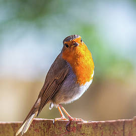 A lonely Robin by Stephen Jenkins