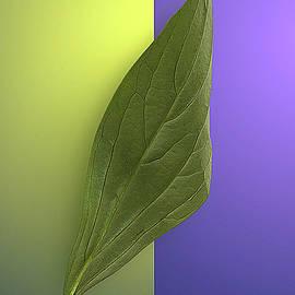 A Long, Tall Peony Leaf by Rene Crystal
