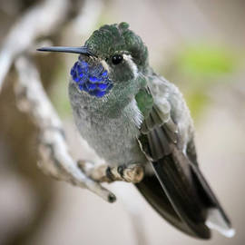 A Male Blue Throated Mountain Gem Hummingbird by Derrick Neill