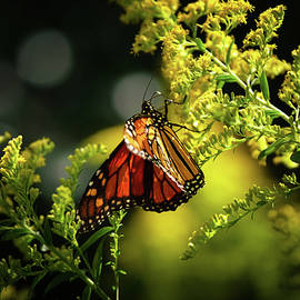 A Monarch Butterfly  by Rehna George