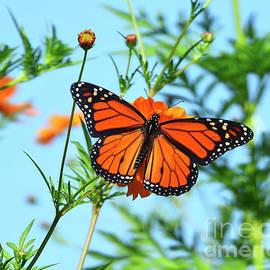 A Monarch Butterfly by Scott Cameron