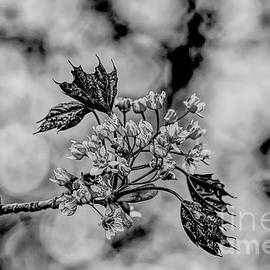 A monochrome Red Maple bloom by Tony Hulme