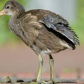 A moorhen chick by Deepak Sundar
