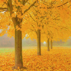 Misty Sycamore Tree Avenue in Autumn by Neale And Judith Clark