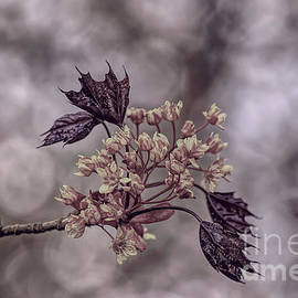 A pastel Red Maple bloom by Tony Hulme