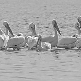 A Pelican Gathering On The Bay by HH Photography of Florida