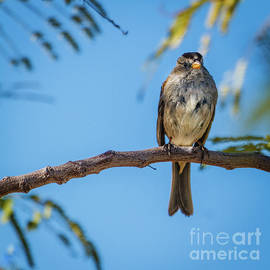 A Perching Sparrow by Robert Bales