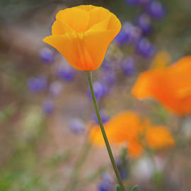 A Perfect Poppy by Teresa Wilson