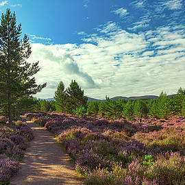 A pleasant path through blooming purple heather in Abernethy Forest. by Robert Murray