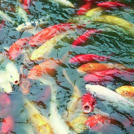 A Pond of Common Carp, or Koi, Cyprinus carpio by Derrick Neill