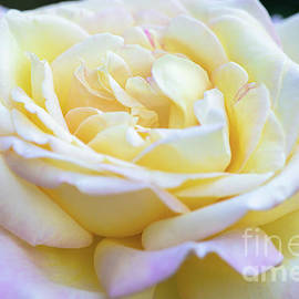 A Pretty Pink-Tinged Yellow Rose by Janice Noto
