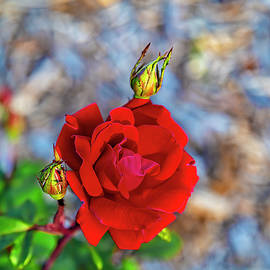 A Red Rose and Her Buds by Kay Brewer