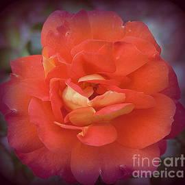 A Rose for Christmas by Dora Sofia Caputo