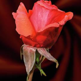 A Rose For My Love by Daniel Beard