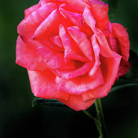 A Rose Standing Prouc by Don Johnson