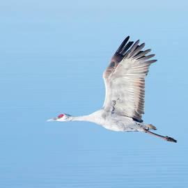 A Sandhill Crane Against the Pale Blue by Derrick Neill
