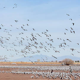 A Sandhill Crane Flock at Whitewater Draw, AZ, USA by Derrick Neill