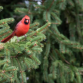 A Sea of Green- Northern Cardinal  by Ricky L Jones