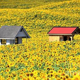 A Sea of Sunflowers by Suzanne Wilkinson
