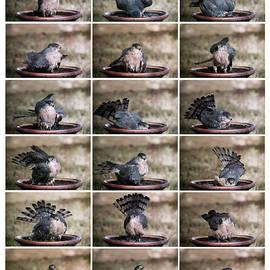 A Sharp Shinned Hawk in a Bird Bath, Hereford, AZ, USA by Derrick Neill