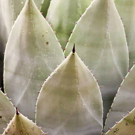A Sharply Thorned Century Plant, or Agave by Derrick Neill