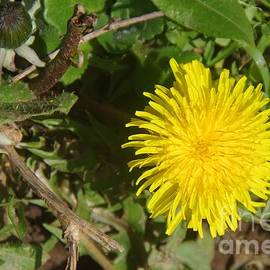 A Single Dandelion by Lesley Evered