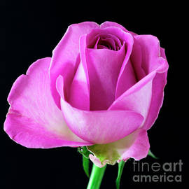 A Single English Rose by Wendy Wilton