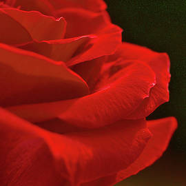 A Single Rose by Richard Perry