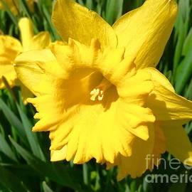 A Smiling Daffodil by Debra Lynch